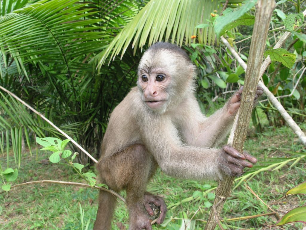 Amazon rainforest and resident monkey are both threatened by deforestation