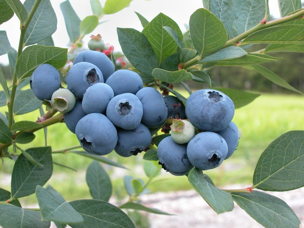 Picking blueberries is a popular agritourism activity