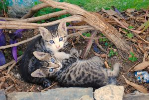 Feral Kittens are cute but can also carry rabies