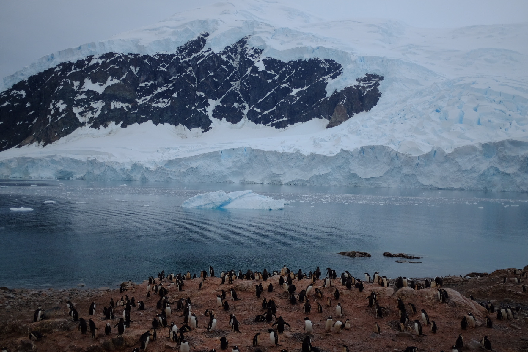 A colony of Gentoo penguins with three month old chicks living in Neko Harbour on the Antarctic Peninsula. Photo: Alicia-Rae Olafsson