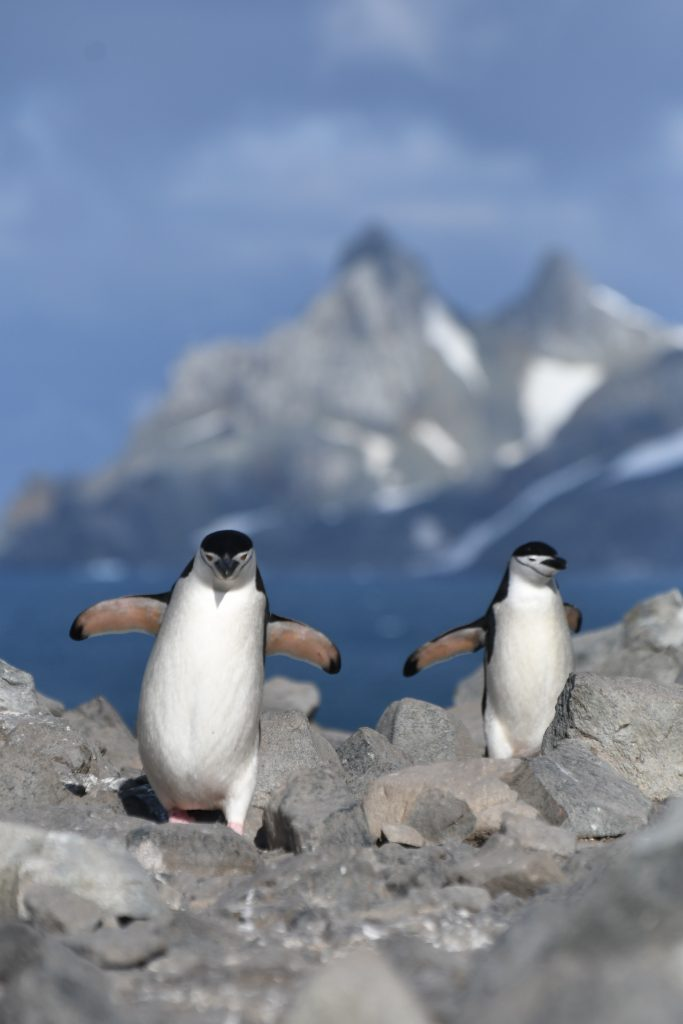 Penguins. Photo:  Alicia-Rae Light