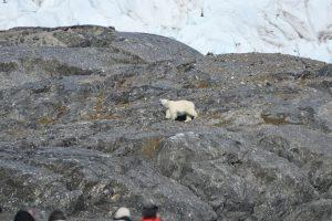 A lone polar bear walks along the fast ice and rock in Adolfbukta, Billefjorden in the far north of the Svalbard Archipelago. Photo: Alicia-Rae Olafsson