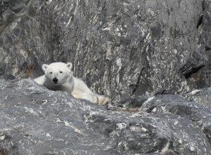 Polar Bear by Alicia-Rae Olafsson