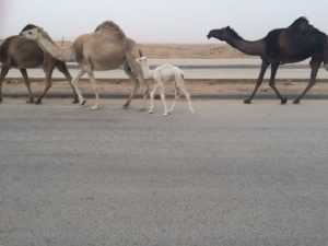 Saudi Arabia and daily sighting of camels