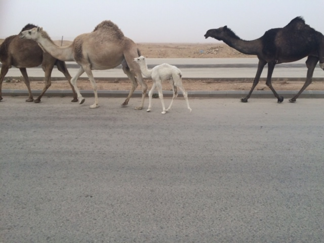 A daily sighting of camels to/from the university. Photo: Thomasina Tafur
