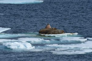 A huddle of walrus bask in the sun on the pack ice in at the far northern edge of the Arctic, near the 79th parallel north. Photo: Alcia-Rae Olafsson