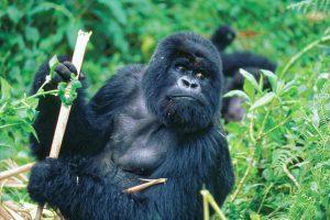 Gorillas in the wild
