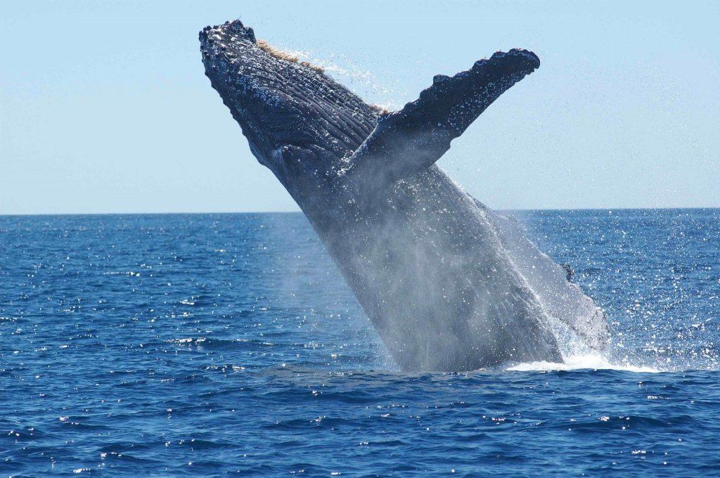 humpback-whale-breeching