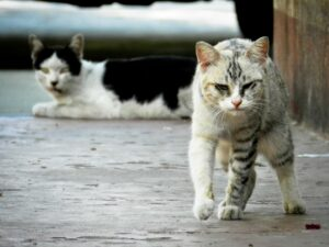 stray-cat-may carry rabies