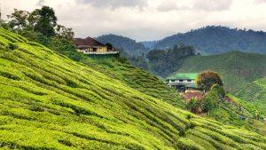 Tea Plantation in Cameron - the Highlands