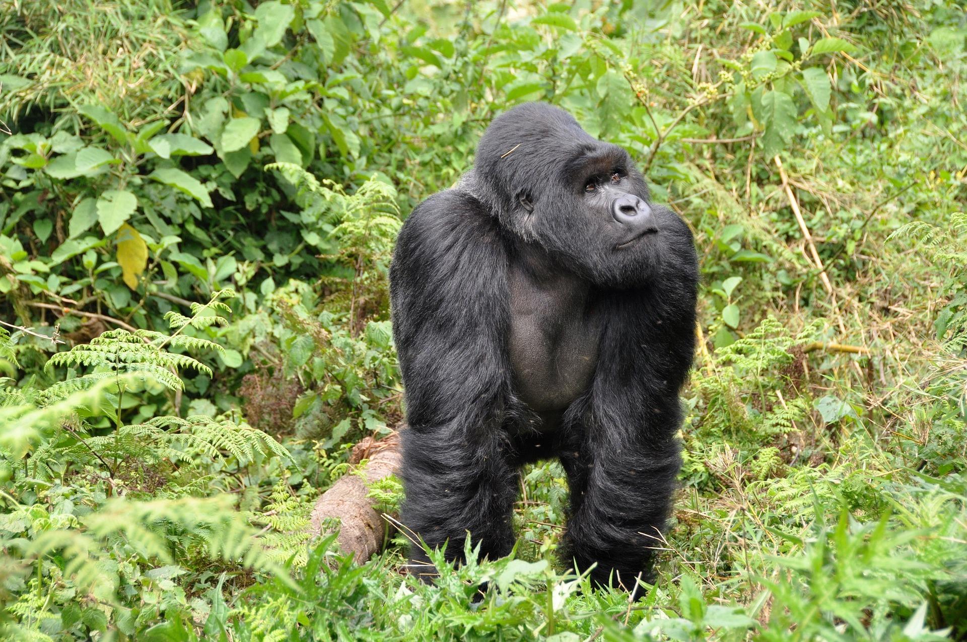 gorillas-Rwanda