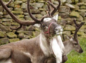 reindeer-farm