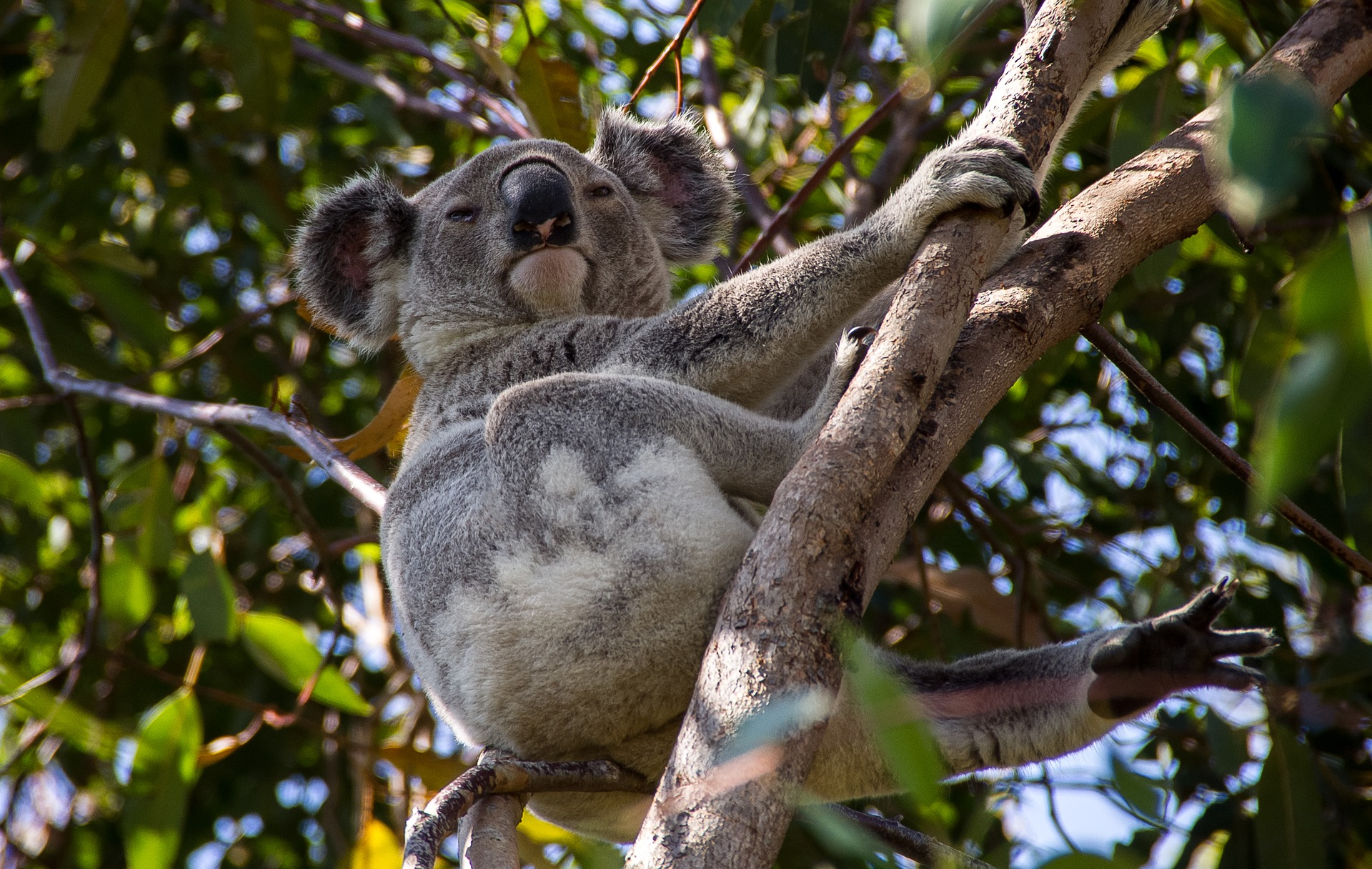 koala-bear in tree in Australia