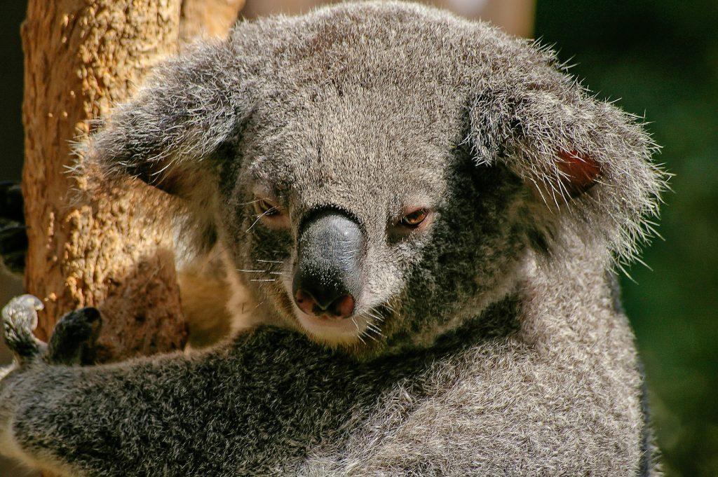 Koala bear in Australia