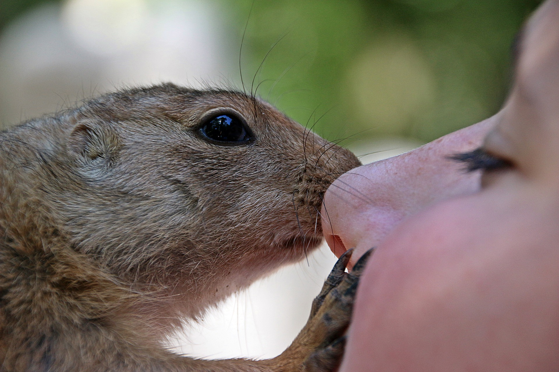 african-bush-squirrel-is not a service animal