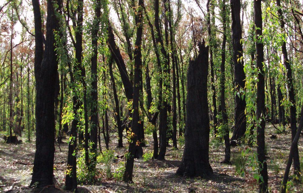 bushfire ravaged bush land regrowing after the fire