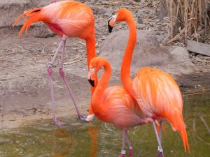Pink Flamingos at the Albuquerque Zoo within the BioPark.