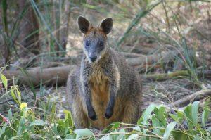 wallaby-Kangaroo Island Australia