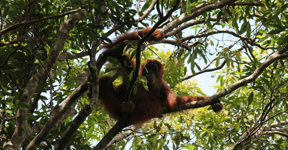 Orangutan - Green Hill Guest House and Trekking