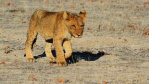 lion-in Namibia