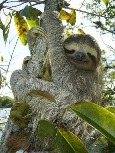 Photo of pygmy sloth-an endangered species