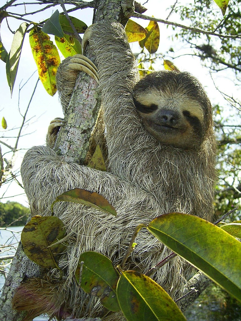 pygmy-sloth-is an endangered species
