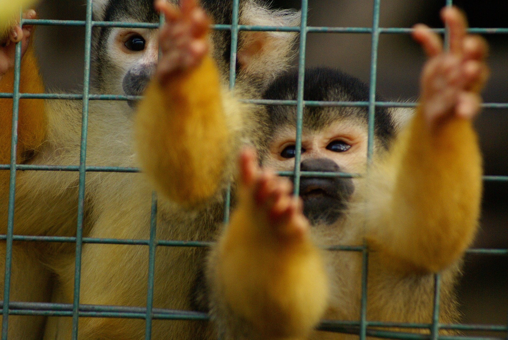 Pandemic - squirrel-monkey-in cage