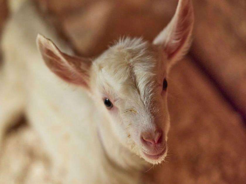 Baby Goat Courtesy of Beekman 1802