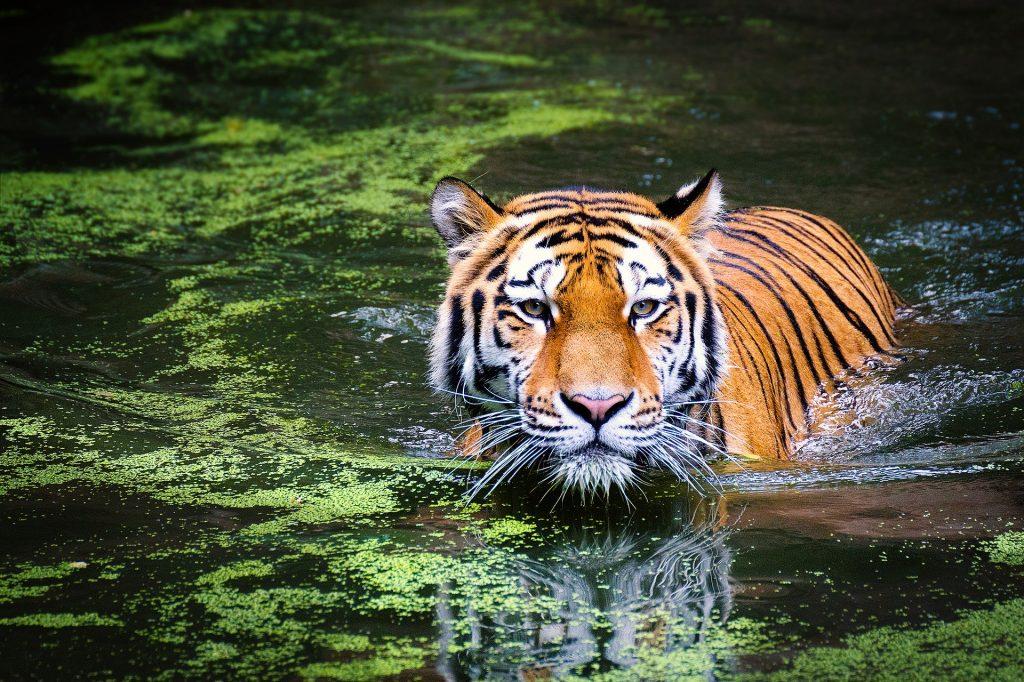 Tiger in wild