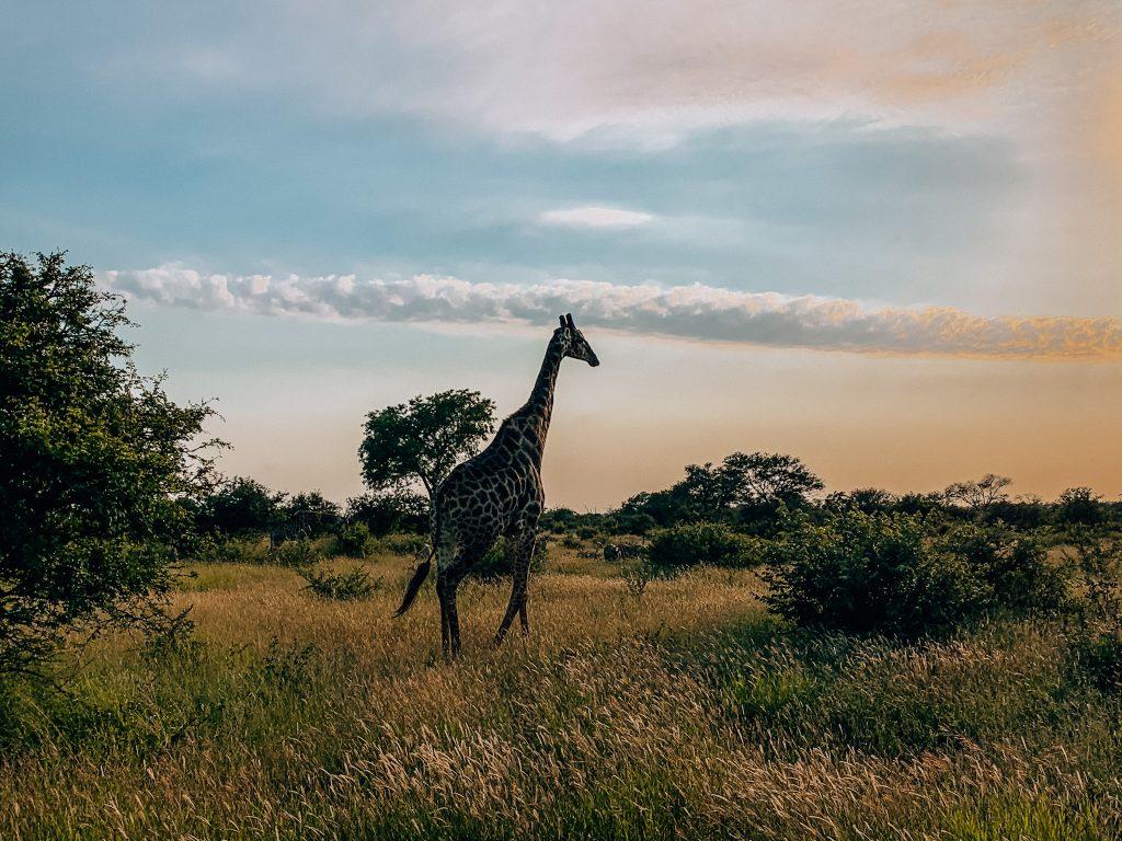 A lone giraffe in Klaserie Reserve, Kruger National Park. Photo:  Kellie Paxian