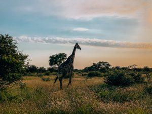 A-lone-giraffe-in-Klaserie-Reserve-Kruger-National-Park