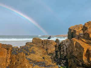 African Black Oystercatcher with Rainbow in Plettenberg Bay