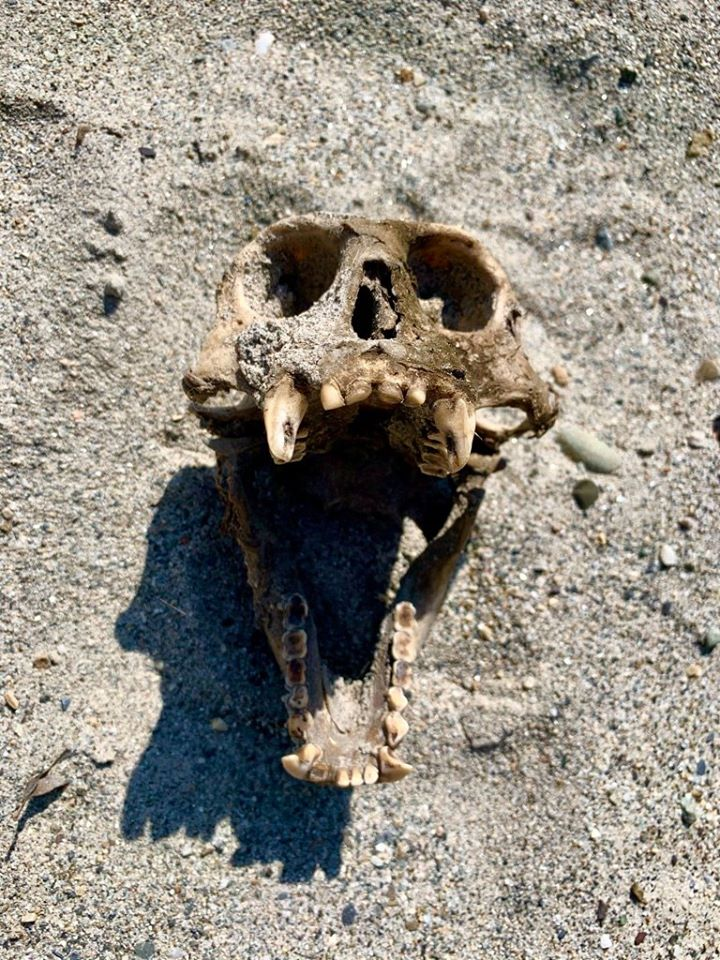 A monkey skull we found by the river. — in Champawat. Photo: Anietra Hamper