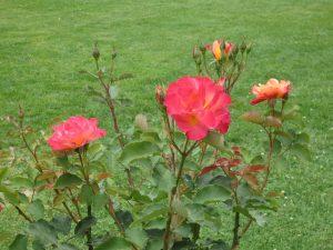 Roses in Kashmir