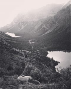 Goat above Grinnell Lake. Photo: Ali Wunderman