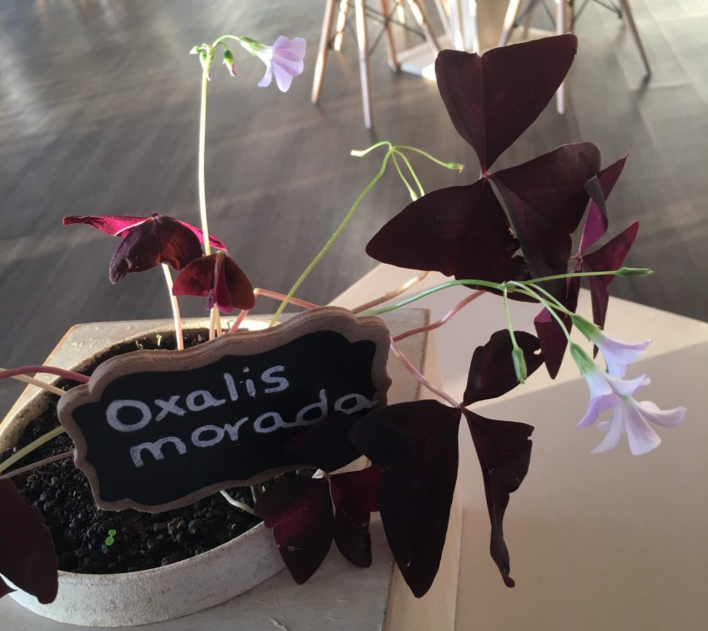 The Oxalis Morada is indigenous to the Galapagos Islands and many regions of South America. Photo: Brent Cahill