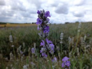 Hitchin-Lavender-Fields