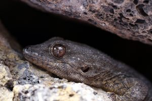 the-lizard-is-a-Tenerife-celebrity