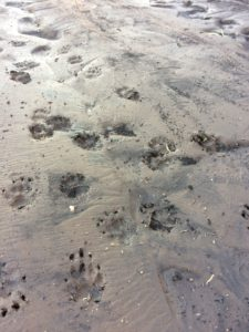 Coyote tracks in Superstitions. Photo: Breana Johnson