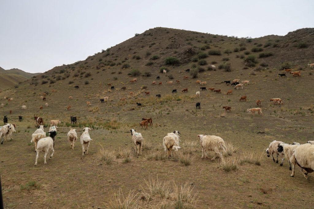 Mongolian-Sheep-by-Vivian-Wang