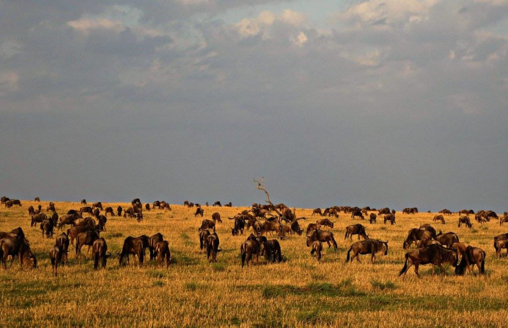 Wildebeest on the Serengeti. Photo: Terri Marshall