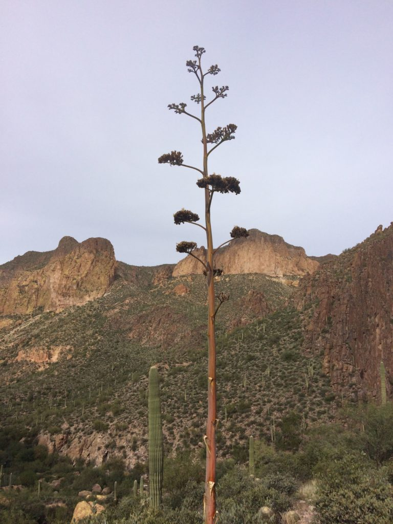 Yucca in the Superstitions photo by Breana Johnson.