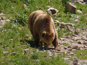 Pyrenees-bear-grazing