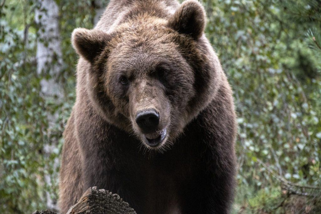 Pyrenees Mountain bear