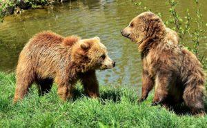 european-brown-bear-