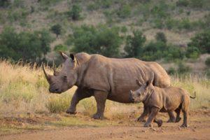white-rhino-Conservation