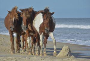 USA - Wild ponies of Assateague Island, Virginia