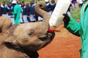 Feeding baby elephants