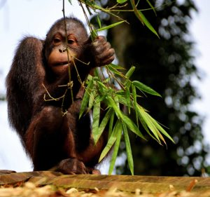 Orangutan baby photo courtesy of Richard Mcall (Pixabay).