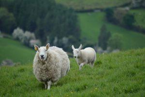 Sheep-herd-in-Ireland